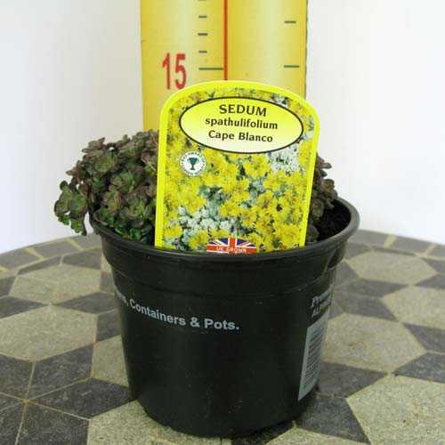 Sedum Spathulifolium Cape Blanco 1Ltr
