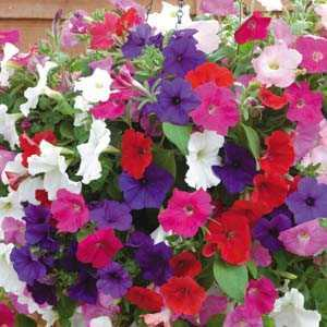 Petunia (Mixed Colours) 10 Per Tray