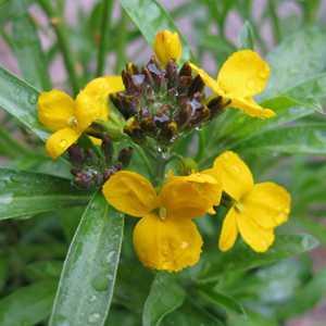 Erysimum Rysi Gold Perennial Wallflower 3ltr pot