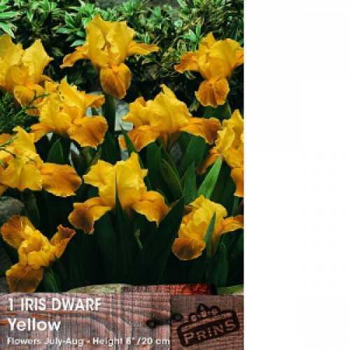 Iris Dutch Iris Bulbs Yellow 20 Per Pack