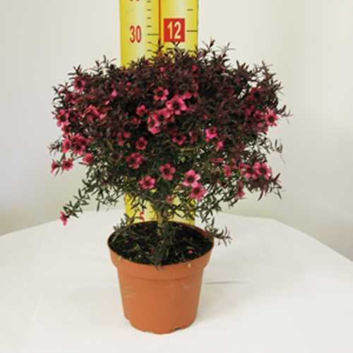 Buy Leptospermum Plants Online Cheap Leptospernum Bushes