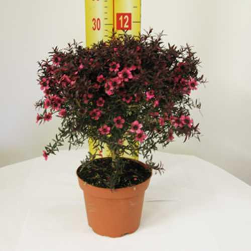 Buy Leptospermum Plants Online Cheap Leptospernum Bushes