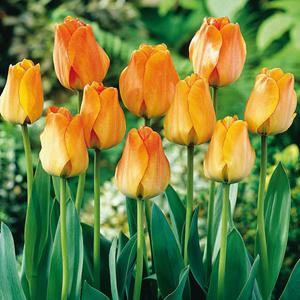 Tulip Bulbs Darwin Hybrid Daydream 10 Per Pack