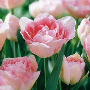 Tulip Bulbs Double Late Angelique 10 Per Pack
