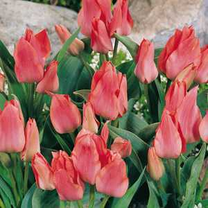 Tulip Bulbs Multiheaded Toronto 10 Per Pack