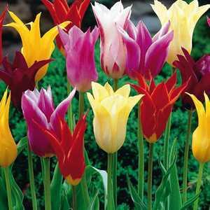Tulip Bulbs Lilyflowering Mixed 10 Per Pack