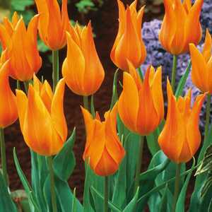 Tulip Bulbs Lilyflowering Marjolein 10 Per Pack