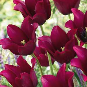 Tulip Bulbs Lilyflowering Merlot 10 Per Pack