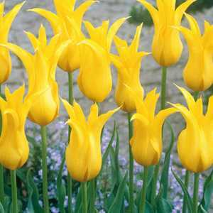 Tulip Bulbs Lilyflowering West Point 10 Per Pack