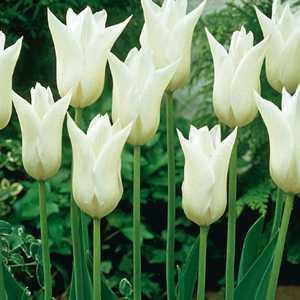 Tulip Bulbs Lilyflowering White Triumphator 10 Per Pack