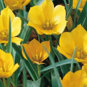 Tulip Bulbs Species Bataliniii Bright Gem 10 Per Pack