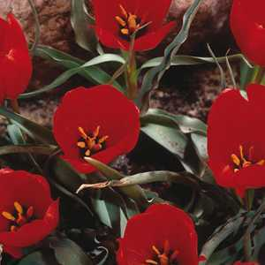 Tulip Bulbs Species Wilsoniana 10 Per Pack