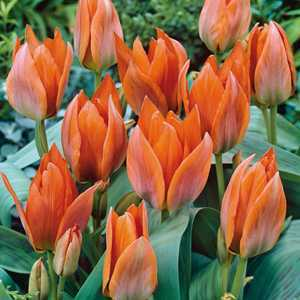 Tulip Bulbs Multiheaded Orange Toronto 10 Per Pack