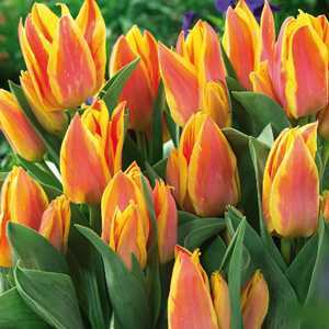 Tulip Bulbs Multiheaded Winnipeg 10 Per Pack
