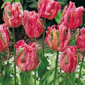 Tulip Bulbs Parrot Fantasy 10 Per Pack