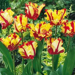 Tulip Bulbs Parrot Flaming Parrot 10 Per Pack