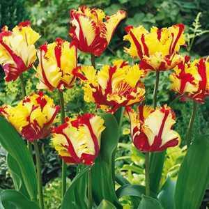 Tulip Bulbs Parrot Flaming Parrot 10 Per Pack