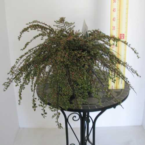 Cotoneaster horizontalis Variegatus 10 Litre Pot