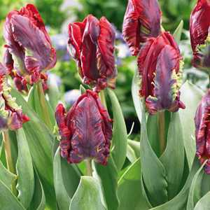 Tulip Bulbs Parrot Rococo 10 Per Pack