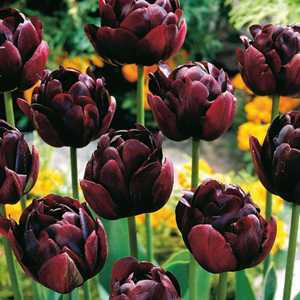 Tulip Bulbs Double Late Uncle Tom 10 Per Pack