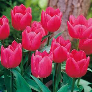 Tulip Bulbs Single Early Christmas Marvel 10 Per Pack