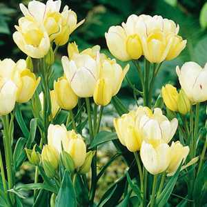 Tulip Bulbs Single Late Candy Club 10 Per Pack