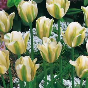 Tulip Bulbs Viridiflora Spring Green 10 Per Pack