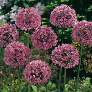 Allium Bulbs Aflatunense 5 Per Pack