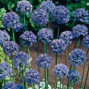 Allium Bulbs Caeruleum 10 Per Pack