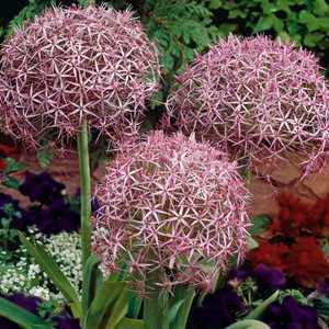 Allium Bulbs Christophii 3 Per Pack