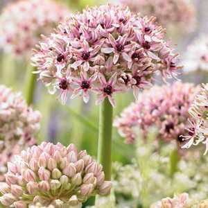 Allium Bulbs Silver Spring 2 Per Pack
