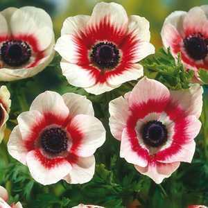 Anemone Bulbs Coronaria Bicolor 15 Per Pack