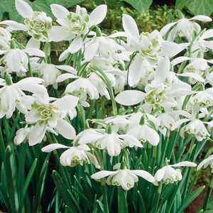 Galanthus Nivalis Bulbs Flore Pleno Snowdrops Double White Flower 10 Per Pack