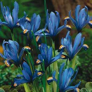 Iris Dwarf Iris Reticulata Bulbs Gordon 15 Per Pack