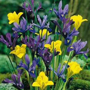 Iris Dwarf Iris Bulbs Mixed 15 Per Pack