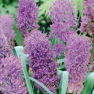 Muscari Plumosum Bulbs Feathered Hyacinths 15 Per Pack