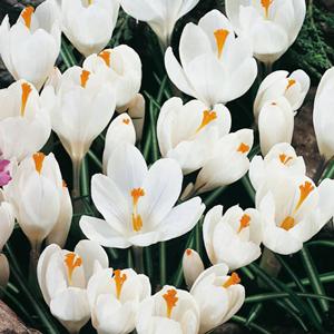 Crocus Vernus Bulbs White 50 Per Pack