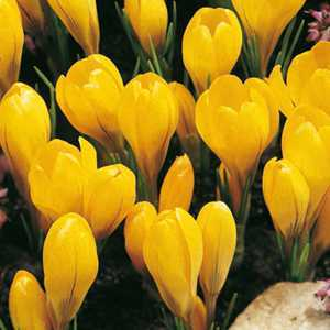 Crocus Flavus Bulbs Yellow 50 Per Pack