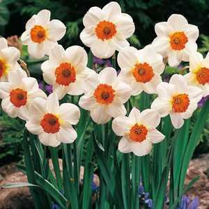 Daffodil Bulbs Small Cupped Barrett Browning 20 Per Pack