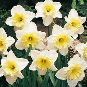 Daffodil Bulbs Large Cupped Ice Follies 20 Per Pack