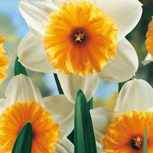 Narcissus Large Cupped Bulbs Orange Ice Follies 20 Per Pack