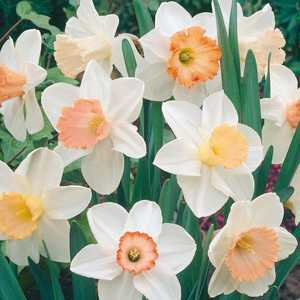 Daffodil Bulbs Large Cupped Mixed Pink 20 Per Pack
