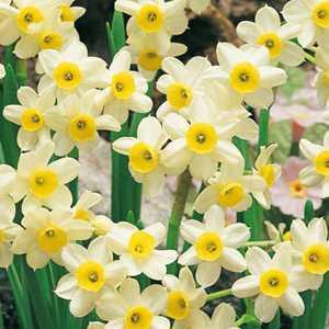 Narcissus Tazetta Bulbs Minnow (Daffodil) 50 Per Pack