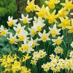 Narcissus Miniature Bulbs Rockery Mixed (Daffodil) 50 Per Pack