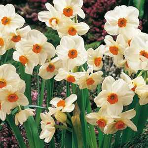 Narcissus Tazetta Bulbs Cragford 25 Per Pack