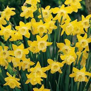 Narcissus Jonquilla Bulbs Dickcissel 25 Per Pack
