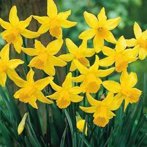 Narcissus Cyclamineus Bulbs February Gold Daffodil 25 Per Pack
