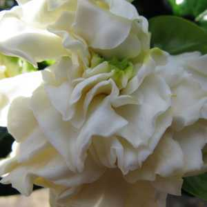 Gardenia Jasminoides 2Ltr