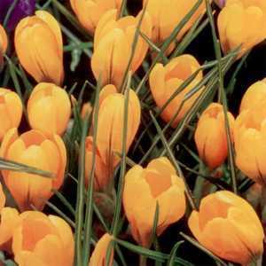Crocus Bulbs Dutch Yellow (Gold) 100 Per Pack