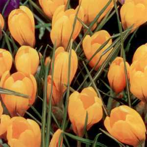 Crocus Bulbs Dutch Yellow (Gold) 50 Per Pack